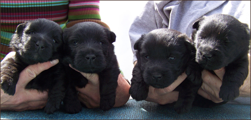 New Scottish Terrier Puppies Available Now!